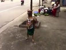 Clip: Chú chó đi dạo phố bằng... 2 chân