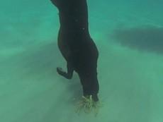 Chú chó có khả năng lặn biển, bắt tôm hùm