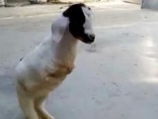 Nghị lực của chú dê bị đột biến, chỉ có 2 chân sau
