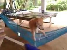 Chú chó thích... nằm võng