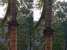 Trăn bò lên cây dừa có một không hai