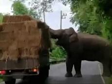 Voi thản nhiên chặn xe tải 'cướp đồ'