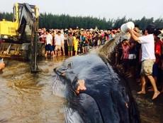 Video nỗ lực cứu cá voi 15 tấn mắc cạn bờ biển
