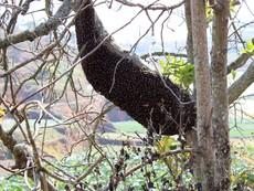 Quan sát bầy Ong làm tổ lớn ngay bên ngoài cửa sổ