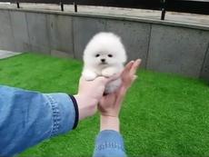 Đây là chú cún hay cục bông?