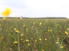 Clip: Về ngắm hoa Hoàng đầu ấn đẹp nhất Đồng Tháp