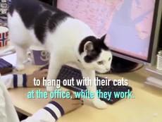 Nhân viên mang mèo đến văn phòng để... đỡ căng thẳng
