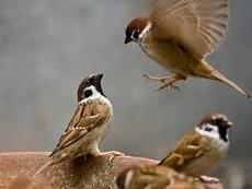 Clip cảm động cảnh chim sẻ đập cửa cứu bạn