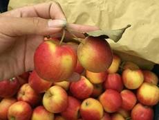 Sự thật về loại táo đá Hà Giang bán trên thị trường