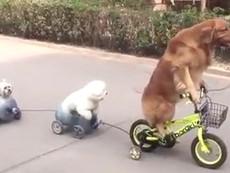 Ngộ nghĩnh: Chó đạp xe chở bạn đi chơi