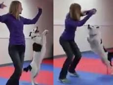 Clip: Chó cưng khiêu vũ điệu nghệ với cô chủ