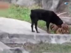 Clip chú chó bắt nạt hổ khiến người xem bất ngờ