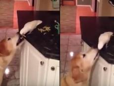 Clip: Chú chim mớm thức ăn cho chó