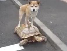 Clip: Lạ mắt với màn cưỡi rùa đi dạo của chú chó