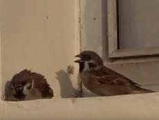 Clip: Cảm động chú chim loay hoay tìm chỗ trú cho bạn