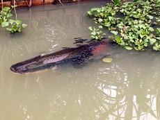 Clip Nuôi 'thủy quái' trong vườn nhà