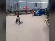 Chú chó lao vào ô tô đang chạy để bảo vệ chủ nhân
