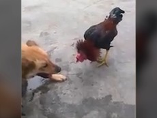 Chú gà 'chiến đấu' đến cùng, không tha cho chó
