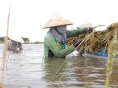 Nông dân Đồng Tháp Mười lội ruộng gặt lúa chạy lũ