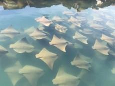 Mãn nhãn với màn 'diễu hành' của hàng trăm con cá đuối