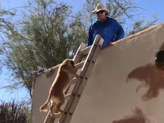 Kỳ lạ: Chó biết leo thang lên mái nhà