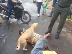 Cảm động chú chó quyết bảo vệ chủ nằm giữa đường
