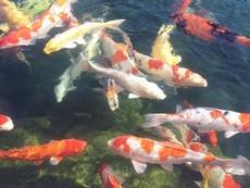 Vẻ đẹp mê hồn của cá Koi