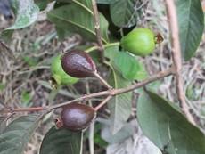 Độc đáo với vườn trái cây 2 màu ở TP.HCM