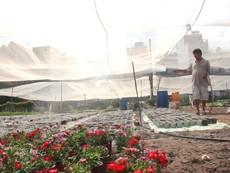 Sau bão số 9, các nhà vườn ở TP.HCM khẩn trương trồng hoa Tết