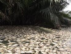 Clip cá chết hàng loạt trên rạch Bần Đun, quận 7