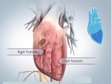 Trái tim của con người hoạt động như thế nào?