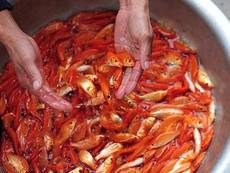Dự báo giá cá chép sẽ tăng mạnh trước ngày cúng ông Táo