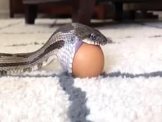Buồn cười xem rắn cố ăn trứng gà