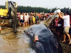 Giải cứu cá voi 15 tấn mắc cạn tại bờ biển Nghệ An