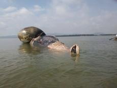Video: Chờ thủy triều để vớt xác cá voi lên bờ an táng