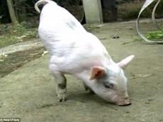 Chú lợn con chỉ có hai chân vẫn đi thoăn thoắt