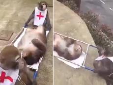 Cười lăn lộn với clip khỉ làm nhân viên cứu thương
