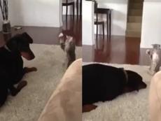 Clip mèo siêu quậy trêu ghẹo chú chó lười