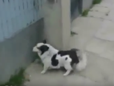 Cách vào nhà bị khóa cửa của chú chó thông minh