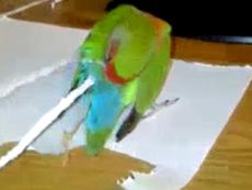 Lạ mắt với chú két tự xé giấy gắn vào đuôi