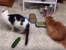 Kỳ lạ: Những chú mèo phát hoảng vì... dưa chuột