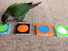 Clip: Chú chim xếp màu sắc vô cùng chính xác