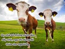 Clip: Đâu phải cứ bò là ngu?