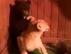 Clip: Buồn cười với cảnh chú gấu giật bắn mình khi gặp sư tử