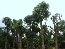Thay cây giáng hương, lộc vừng trên đường Nguyễn Huệ