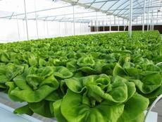 Muốn trồng rau sạch: Không dễ!