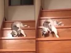 Clip: Cách đi cầu thang 'bá đạo' của mèo lười
