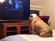 Chú chó 'mê' xem phim ma