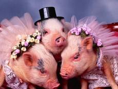 Những chú lợn con đáng yêu nhất quả đất