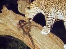 Kỳ lạ báo đốm ăn thịt khỉ mẹ nhưng lại thương yêu khỉ con